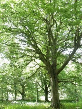L'arbre du Mois est le hêtre